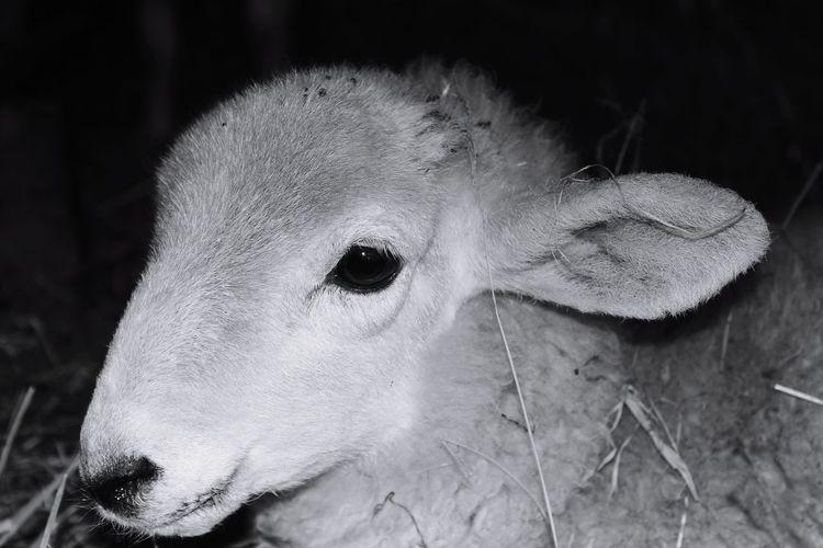 Sheep🐑 Sheeps Sheep Farm Sheep Ranch Lambs Lamb Close-up Animal Themes Animal Eye Animal Head  Animal Nose Animal Ear Animal Face HEAD Animal Body Part