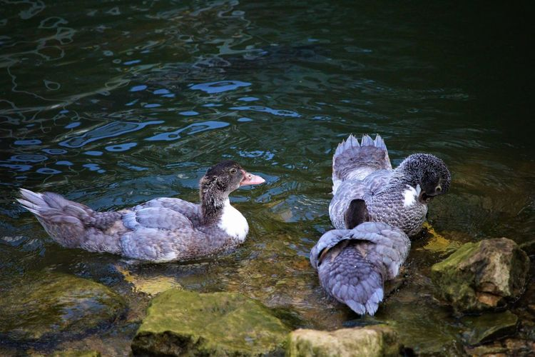 Duck's Water