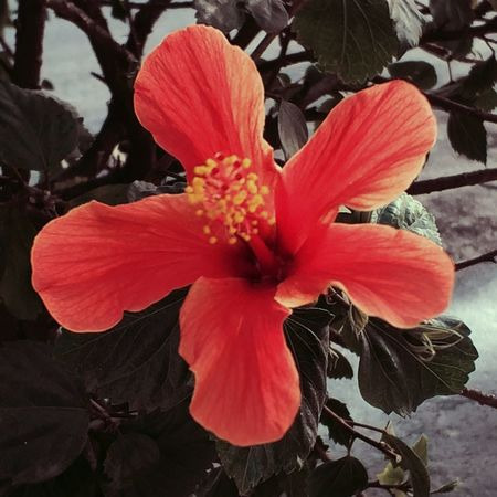Flower Flower Head Petal Fragility Nature Beauty In Nature Red