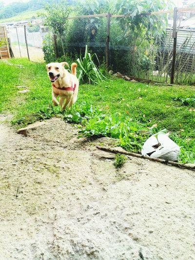 lluvia <3 Taking Photos Labrador Retriever Labradorable  Lluvia :3 LabradorLove Dog❤ Pet Portraits