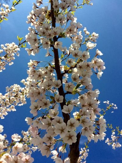 White cherry Beauty In Nature Day Flower Head Still Plant Blue Nature flowers, blue sky White Blue And White Bee