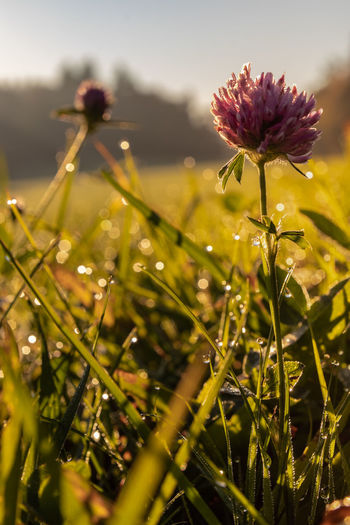 Clover Nature Nature Photography Nature_collection Morning No People Summer Sun Green Bokeh Lights Bokeh Clover Dew Drops Nature Germany Flower Head Flower Thistle Rural Scene Uncultivated Poppy Close-up Sky Plant Landscape Wildflower Plant Life Botany Flowering Plant Shining In Bloom