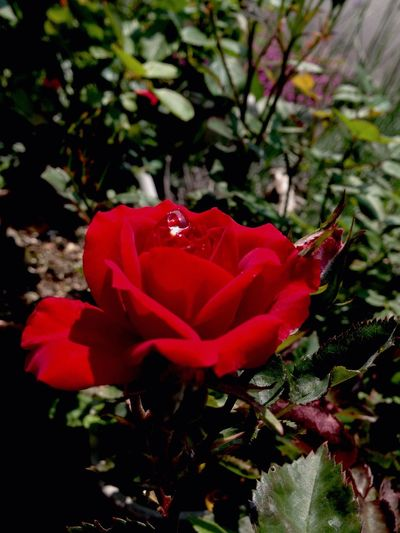 Rosé Redrose  Mygarden Flower Rosé Nature Beauty In Nature Rose - Flower Day