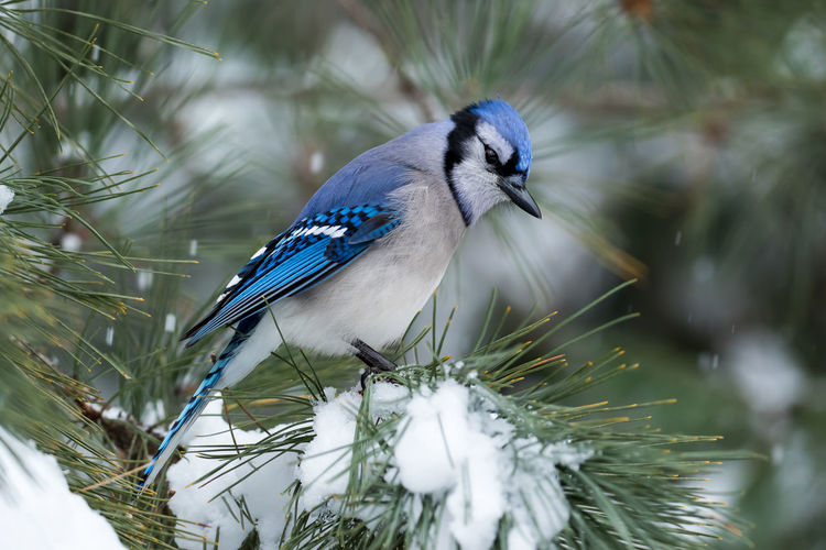 Close-up of blue jay perching on branch during winter