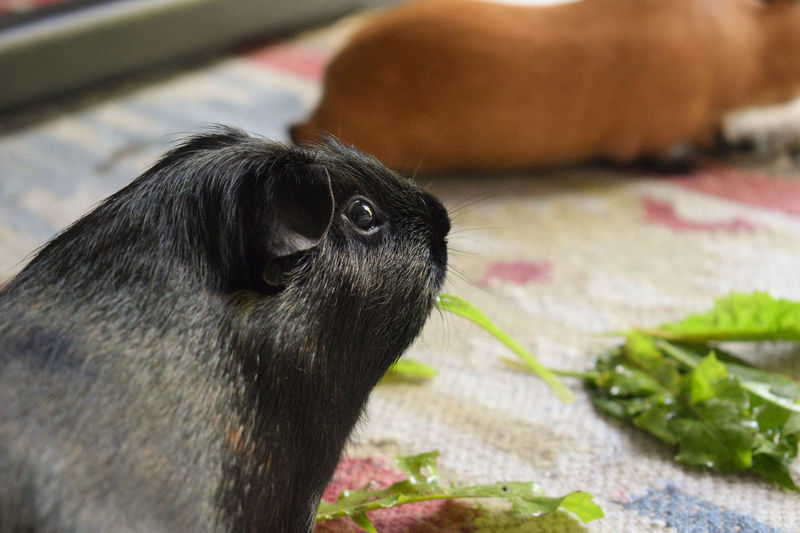 Cute Pets Family Guinea Pig Happy Animal Themes Close-up Cute Dandlions Day Dog Domestic Animals Eating Healthy Guineapig Indoors  Mammal Nature No People One Animal Pets