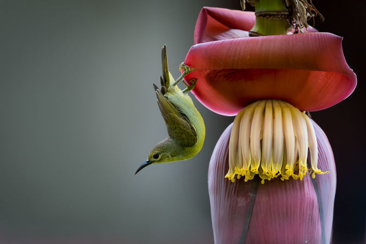 Up side down bird,sunbird enjoys banana flower. Banana Flower Banana Tree Bending Bird Clear Background Female Sunbird Colorful Up Side Down