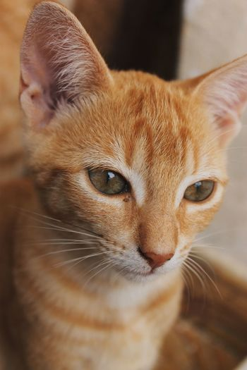 Canela Green Color Animal Animal Body Part Animal Eye Animal Head  Animal Themes Canon Canon1100d Canonphotography Cat Close-up Domestic Domestic Animals Domestic Cat Feline Focus On Foreground Ginger Cat Looking At Camera Mammal One Animal Pets Photography Portrait Vertebrate Whisker