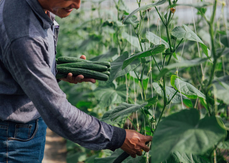 Agriculture Crop  Cucumber Cucumber Farm Farm Farm Life Farmer Farming Food Freshness Green Color Green House Growth Hand Hardworking Harvesting Healthy Eating Holding Lifestyles One Person Organic Outdoors Vegetable Working Working Hands Investing In Quality Of Life