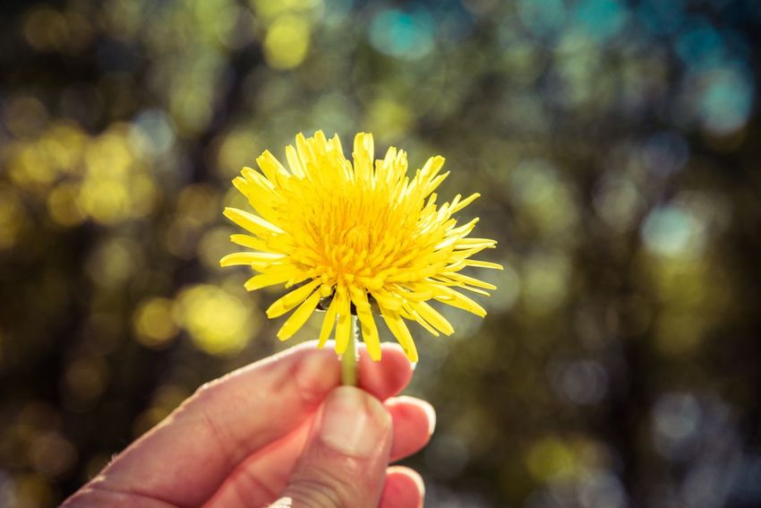 Flower Yellow Human Hand Human Body Part Focus On Foreground Fragility Flower Head Freshness Petal Nature Beauty In Nature Real People Holding Outdoors Close-up One Person Day Blooming People Nikon D750 Nikonphotography Beauty In Nature