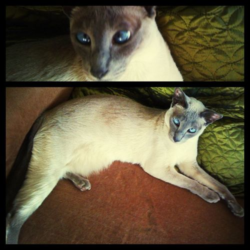 roly Siamesebluepoint Redpointsiamese Cats Diptic