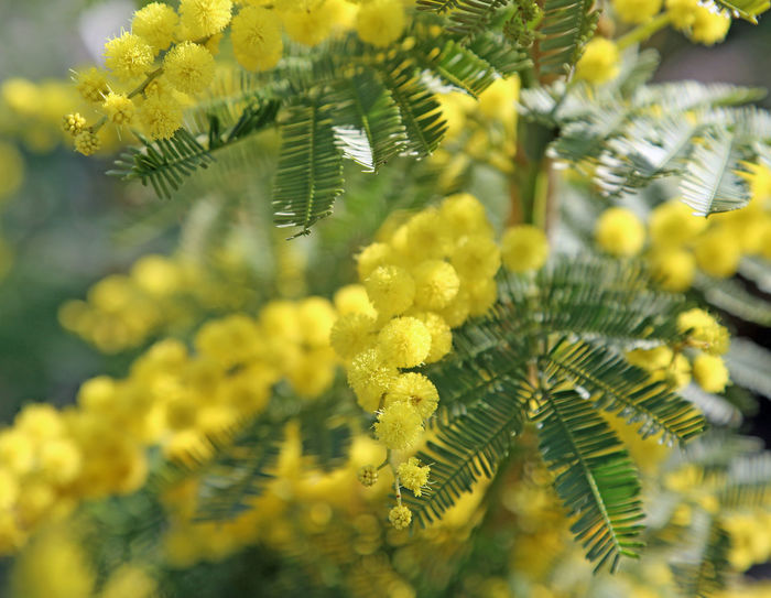 many mimosa flowers symbol of international day of women International Women's Day Internationaler Frauentag Journée Internationale Des Femmes Mimosa Flowers Weltfrauentag Festa Della Donna Festa Delle Donne International Woman Day International Womens Day Mimosa Mimosa Flower Mimosa Pudica Mimosa Tree Mimosa Trees Mimosas Mimose Romeo E Giulietta Women's Rights ınternational Women's Day