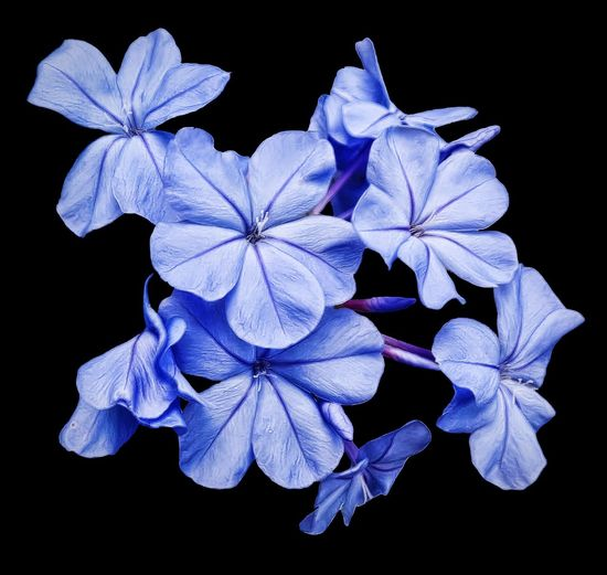 Floral Blue Plumbago Bloom Flower Blossom Botanical Garden Flowers,Plants & Garden Sharons_snapshots