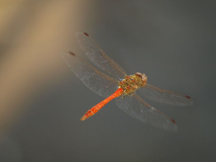 Close-up of dragonfly flying over black background