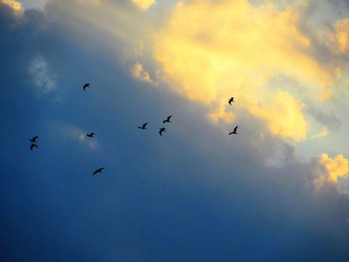 Volar Animal