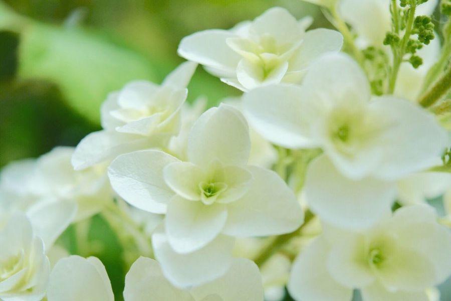 おちゅかれさま♪ もぅ1枚 載せちゃお(≧◡≦) 白い紫陽花も 好き(*˘︶˘*)♡♡ 紫陽花 柏葉紫陽花 キミに届け Hydrangea Natural_love Natural Beauty White Flowers With You Happiness