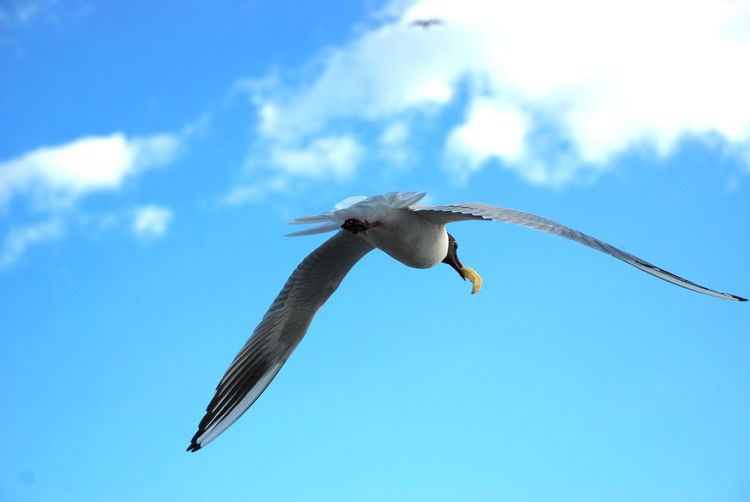 Animal Themes Animal Wildlife Animals In The Wild Bird Close-up Day Flying In Flight Seagull Low Angle View Mid-air Nature No People One Animal Outdoors Seagull Eating Chips Seagull With Chip Sky Spread Wings