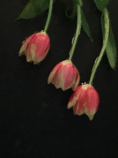 IPS2016StillLiife Trio Tulips Nature Flowerporn Painterly Flowers