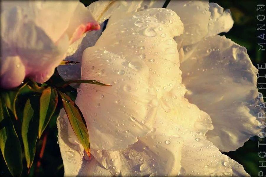 apres la pluie vient le beau temps ?? Fleurs Sous La Pluie Magnifique