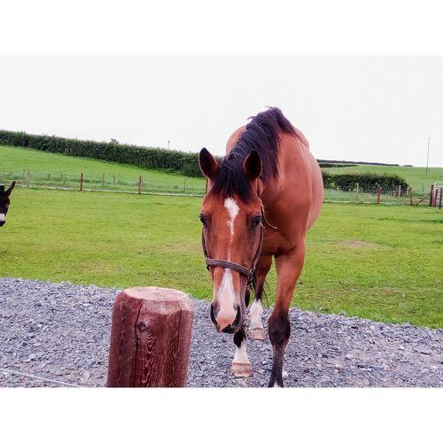 Horse 🐴 Oil