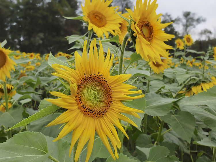Flower Beauty In Nature Inflorescence Sunflower Leaf Outdoors Flower Head Petal Field Of Sunflowers Yellow Green Petals