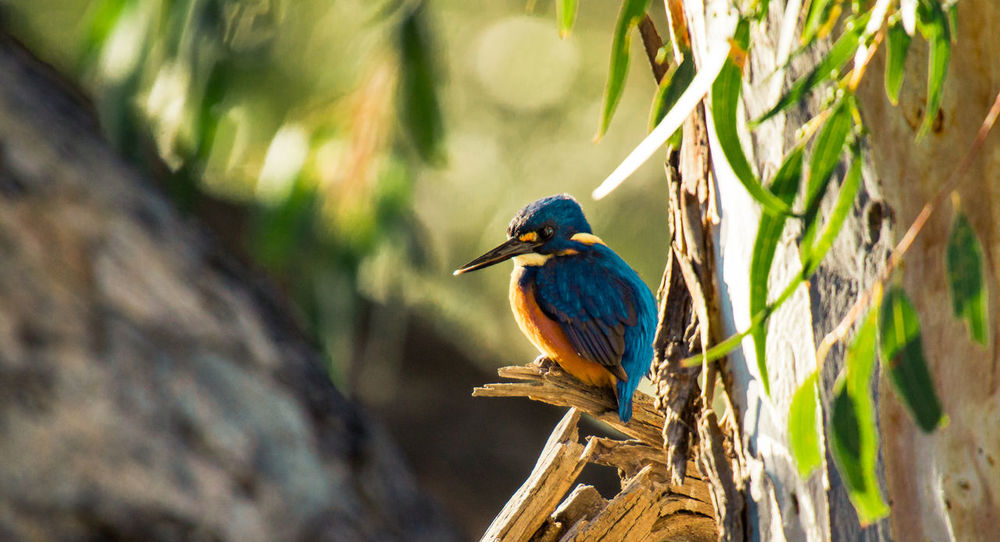 Azure Kingfisher (Ceyx Azureus) Birding Ceyx Azureus Animal Animal Themes Animal Wildlife Animals In The Wild Azure Kingfisher Beak Bird Blue Branch Close-up Focus On Foreground Kingfisher Nagambie Nature One Animal Perching Plant Selective Focus Tree Turquoise Colored Vertebrate