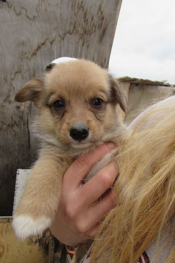 Close-up of woman with pembroke welsh corgi puppy