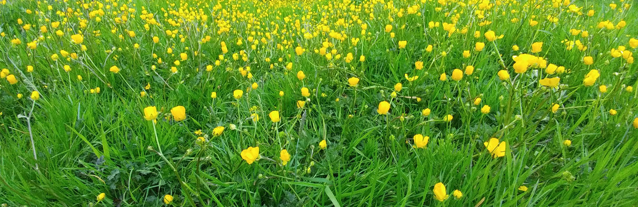 plant, flower, flowering plant, yellow, beauty in nature, freshness, field, fragility, growth, vulnerability, green color, land, nature, no people, backgrounds, full frame, close-up, grass, flower head, day, springtime, outdoors, flowerbed