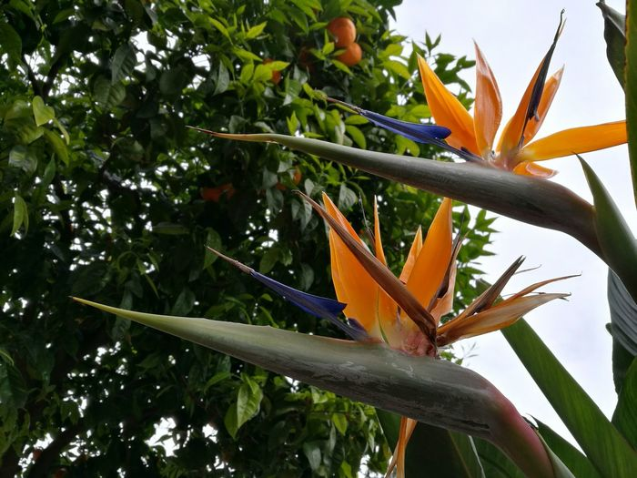 Bird Of Paradise - Plant Outdoors Beauty In Nature Tree Flower Monaco Close-up Orange Color Freshness