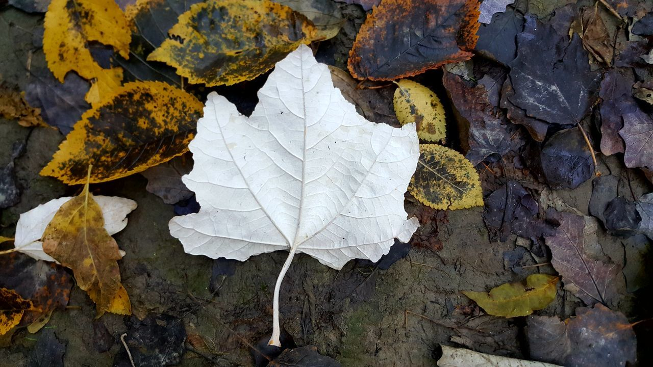 leaf, day, outdoors, no people, autumn, change, nature, fragility, close-up