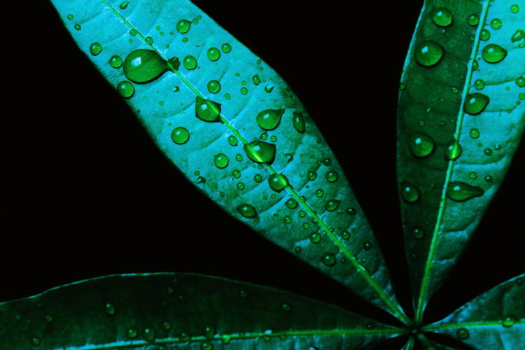 Biology Botany Plant Nature Green Black Background Water Leaf Close-up Green Color Drop RainDrop Rainy Season Rain Dripping Rainfall Droplet Water Drop Dew Wet Leaf Vein Plant Life 17.62° Analogue Sound