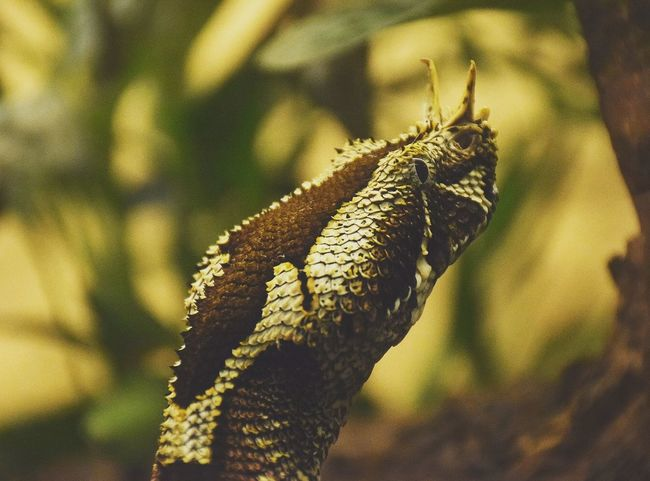 rhinoceros snake Snakelover  Snakelove Prilaga Snakehead Snake Snakeskin Snakelife Rhinoceros Snake