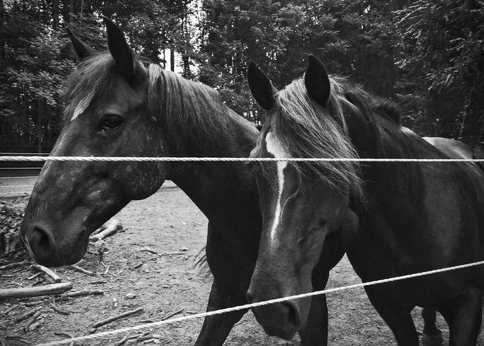 Horses Blackandwhite