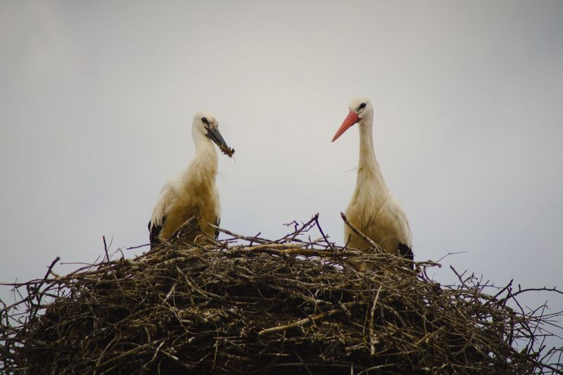 Close-Up Of Birds In Nest Against Clear Sky