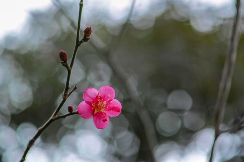 Plum Blossom Flowers Flower Collection Flowerporn Nature EyeEm Nature Lover Nature_collection Nature Photography Taking Photos EyeEm Best Shots EyeEm Gallery From My Point Of View The Week on EyeEm Flower Flowering Plant Plant Freshness Beauty In Nature Fragility Growth Pink Color Nature Flower Head Petal Branch Close-up