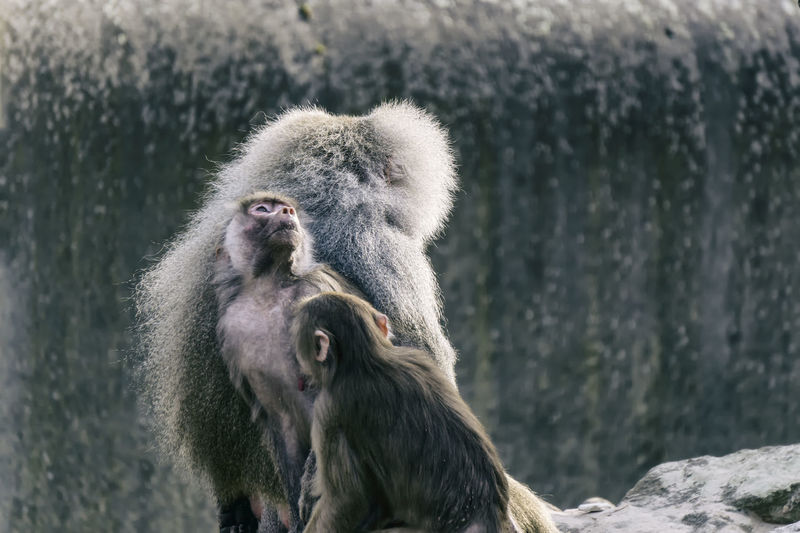 Three Baboons at the zoo Berlin Germany 🇩🇪 Deutschland Horizontal Mamal Zoo Animal Animal Family Animal Themes Baboon Color Image Day Group Of Animals In Captivity Male Mammal Monkey Nature No People Outdoors Primate Rocks Togetherness Vertebrate Zoological Garden Zoology