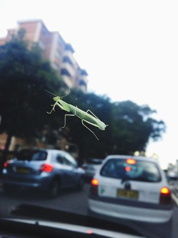 Grasshopper Windshield Insect Traffic Road Bug Green Hello Tiny Insect Photography Stopping By Taking A Rest  Saying Hello City Car Transportation Street Eyeem Insects Insects  Close Up Focus Sydney Australia Traffic Jam Nature And City