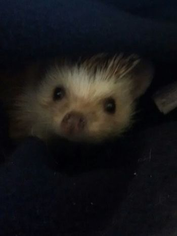 Hedgehog Hiding Burrowing Warm Spiky Adorable Content Pets Animals Loveable