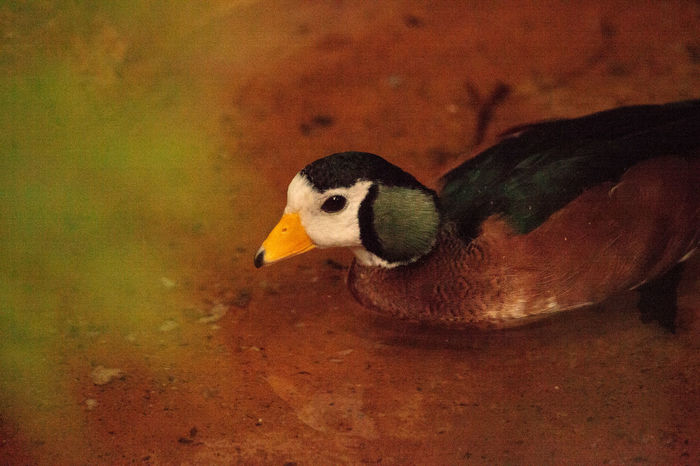 African pygmy goose Nettapus auritus is found in Central to southern Africa and Madagascar African Pygmy Goose Nettapus Auritus Pond Animal Themes Animal Wildlife Animals In The Wild Bird Close-up Day Goose Madagascar  Nature No People One Animal Outdoors Pygmy Goose Waterfowl