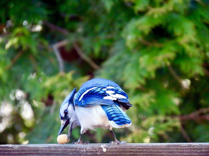 Blue jay with peanut rear view blue feathers green trees focus on the foreground wooden railing beauty in nature outdoors Birds of EyeEm Animal Themes One Animal Bird Close-up No People