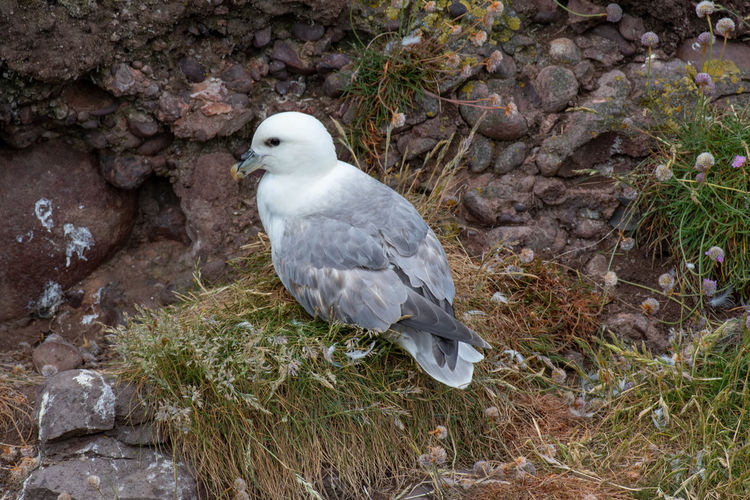 Fulmar (Fulmarus glacialis) nesting on a cliff edge Fulmar Animal Animal Themes Animal Wildlife Animals In The Wild Bird Day Fulmarus Glacialis High Angle View Land Nature No People One Animal Outdoors Perching Plant Rock Rock - Object Seagull Side View Solid Vertebrate