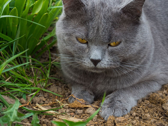 One Animal Animal Themes Animal Mammal Feline Cat Vertebrate Domestic Cat Pets Domestic Domestic Animals Whisker Close-up Portrait No People Nature Day Land Field Plant Outdoors Yellow Eyes Animal Eye