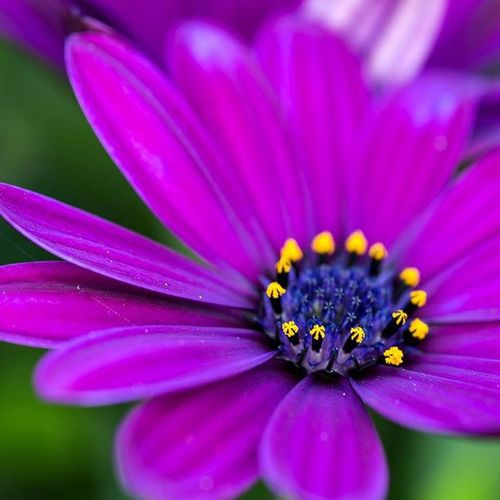 Flowers Flowerslovers Flower Flowerstagram Photooftheday Photographer Blomster Blommigt Blomma Macros Macro Macrophotography Macro_captures Makro Nature Naturelovers Igers Ig_macro Ig_macro_mania Twerking_flowers Showcase: February Close-up Closeupshot Purple ♥ Our Best Pics