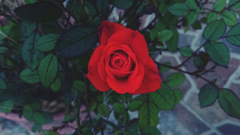 Red Rose Rose Plant Flower Flower Collection Close-up Growth Outdoors Nature Plant Red Beauty In Nature Rose Collection EyeEm Best Shots Photography EyeEm Nature Lover Feeling Creative Open Edits Taking Photos No People Green Leaves Green Color Flower Head Red Flower Fragility Springtime