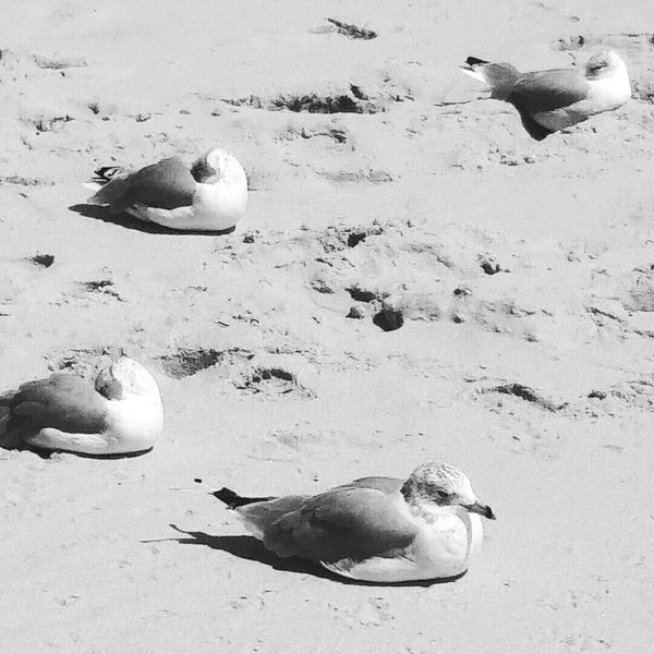 Seagulls Sand Beach Animal Wildlife Sea Life Seagull Outdoors Nature Bird Sleeping Sleeping Bird Black And White