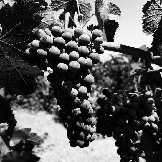 Pasorobleswine Winecounrty Blackandwhitephotography Texture Winegrapes Sculptera