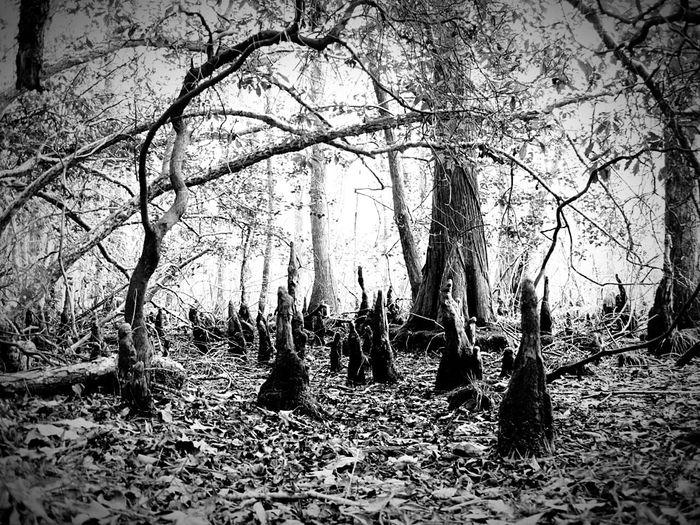 Land of the Fair Folk Cypress Swamp Enchanted  Gnomes Blackandwhite Monochrome Treehugger Pocomoke River