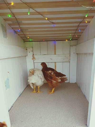 Animal Themes Chickens Are Pets Chickens Chicken Coop Chicken Legs Chicken Room