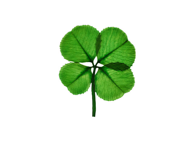 Real four leaf clover isolated on white background Four Leaf Clovers 🍀 Holiday St Patrick's Day Cut Out Green Color Leaf Nature Plant St Patrick Studio Shot White Background
