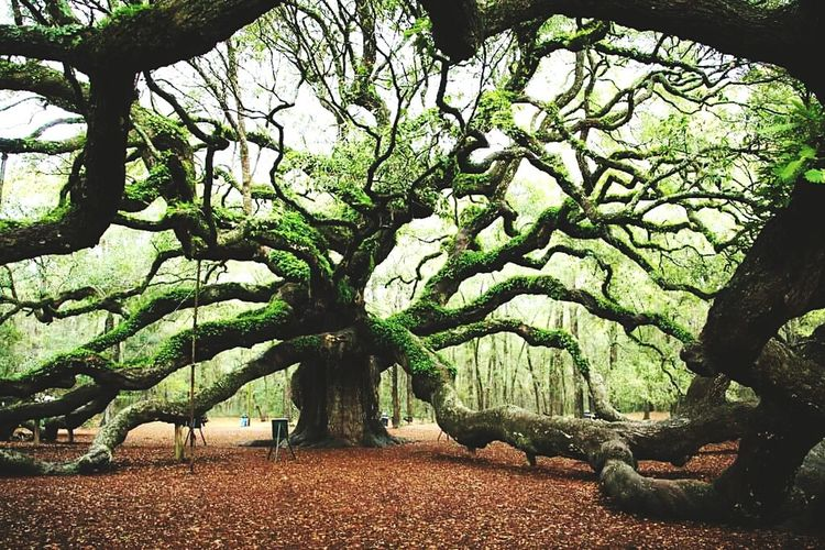 1500 yrs old tree in Charlestone, SC. Just sharing. Its awesome. Travelphotography @beautiful Trees