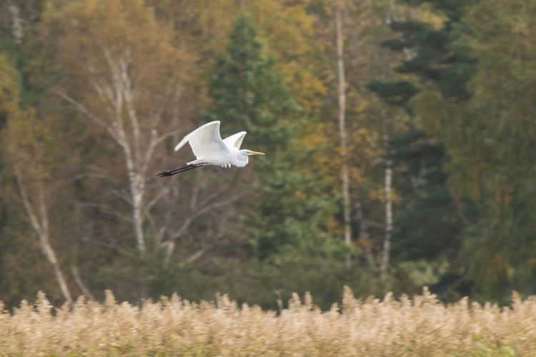 Great egret flying over field against trees